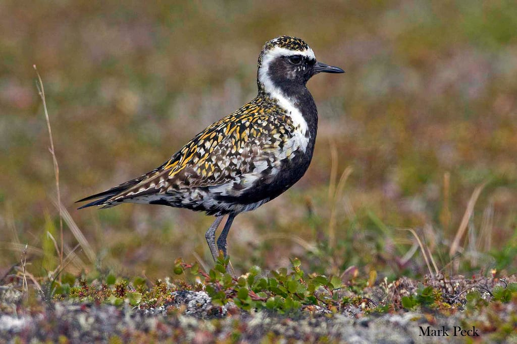 Pacific golden plover migration