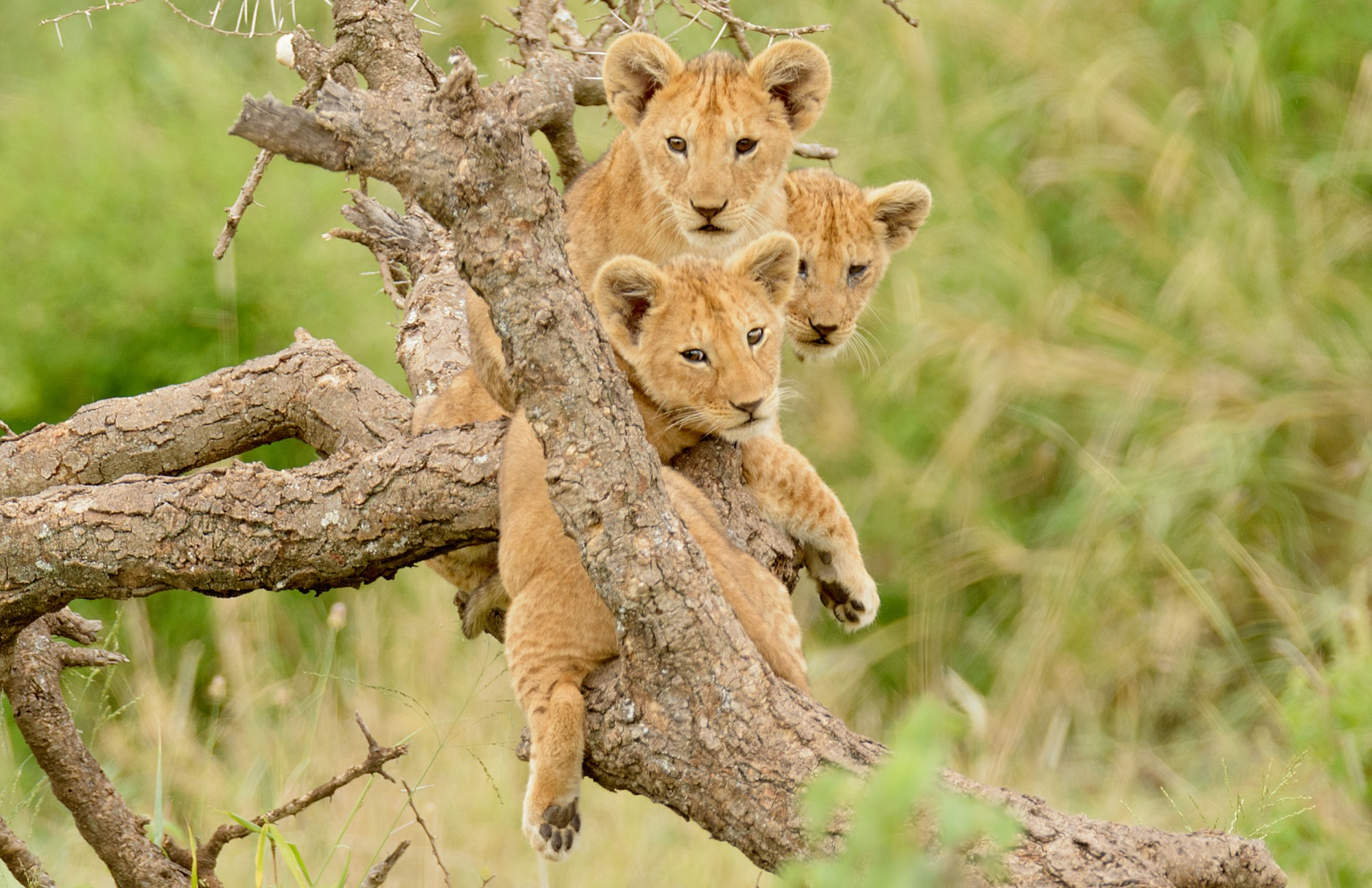 妖娆 Travels 非洲之旅 - Lion King Safari - a group of lion cubs hanging out in a tree