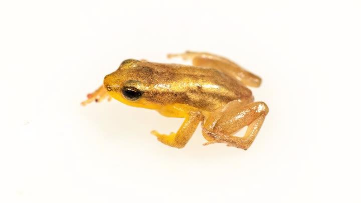 The Golden Rocket Frog.