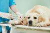 Chien-veterinaire-labrador-piqure-full-12644527_wfgjsg
