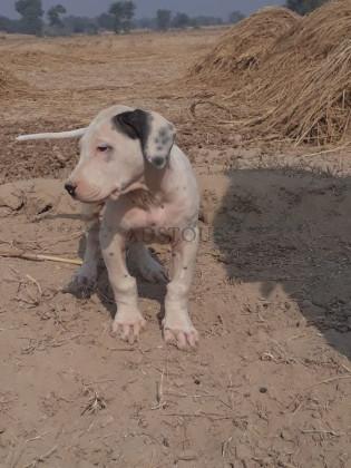 Bully kutta - Cats & Dogs - Adstous