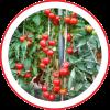 Tomate Híbrido SV2444TH