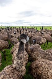Longview Emu Farm Kerang VIC 3579 - Image 2