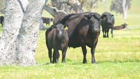 Rural / Farming commercial property for sale at Section 310 Lucindale Road Naracoorte SA 5271