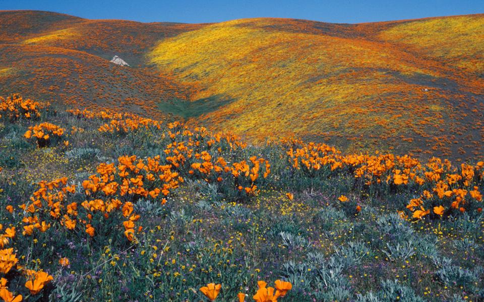 antelope valley poppy fields 2020