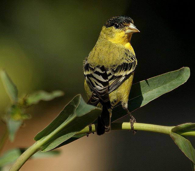 Immature Goldfinch Bird