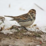Lapland Longspur, Honey Pot, Hadley, Mass. December 31, 2012