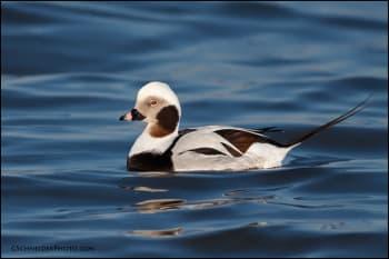 Non-breeding Long-tailed Duck