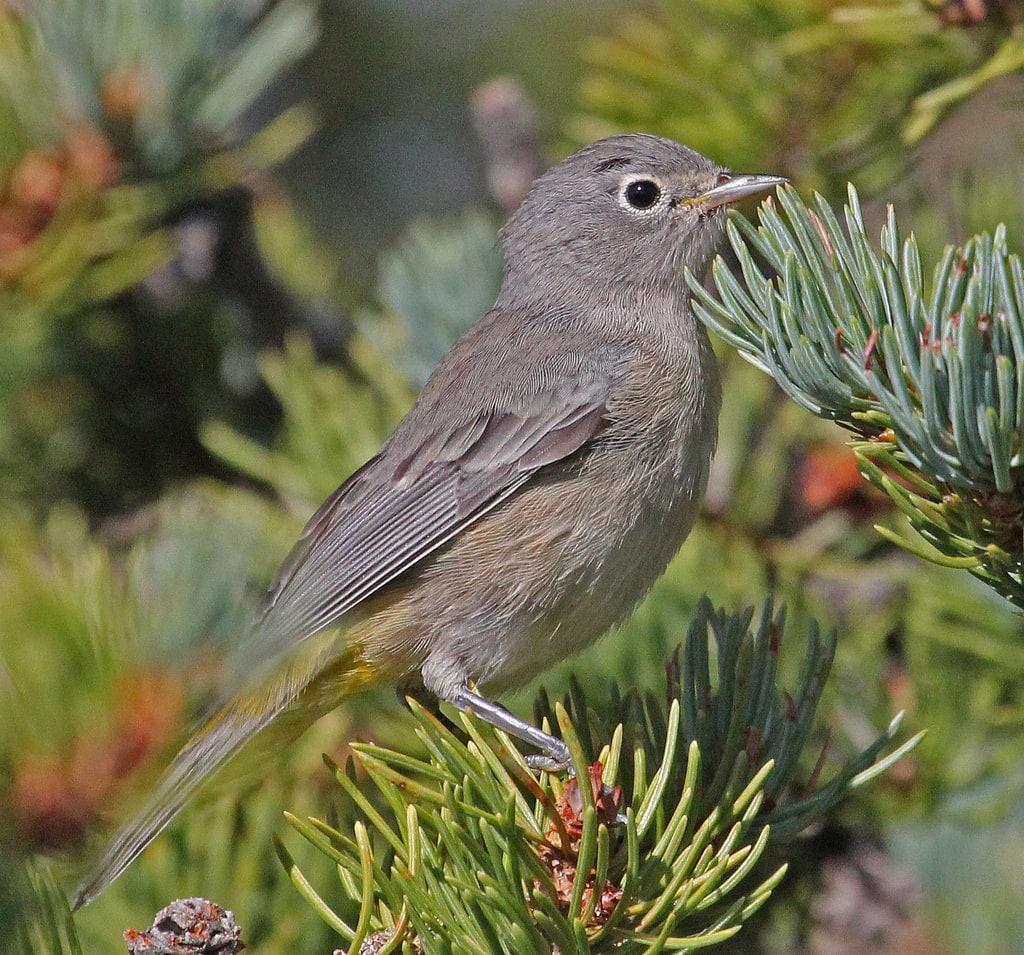 virginia u0027s warbler ebirdr