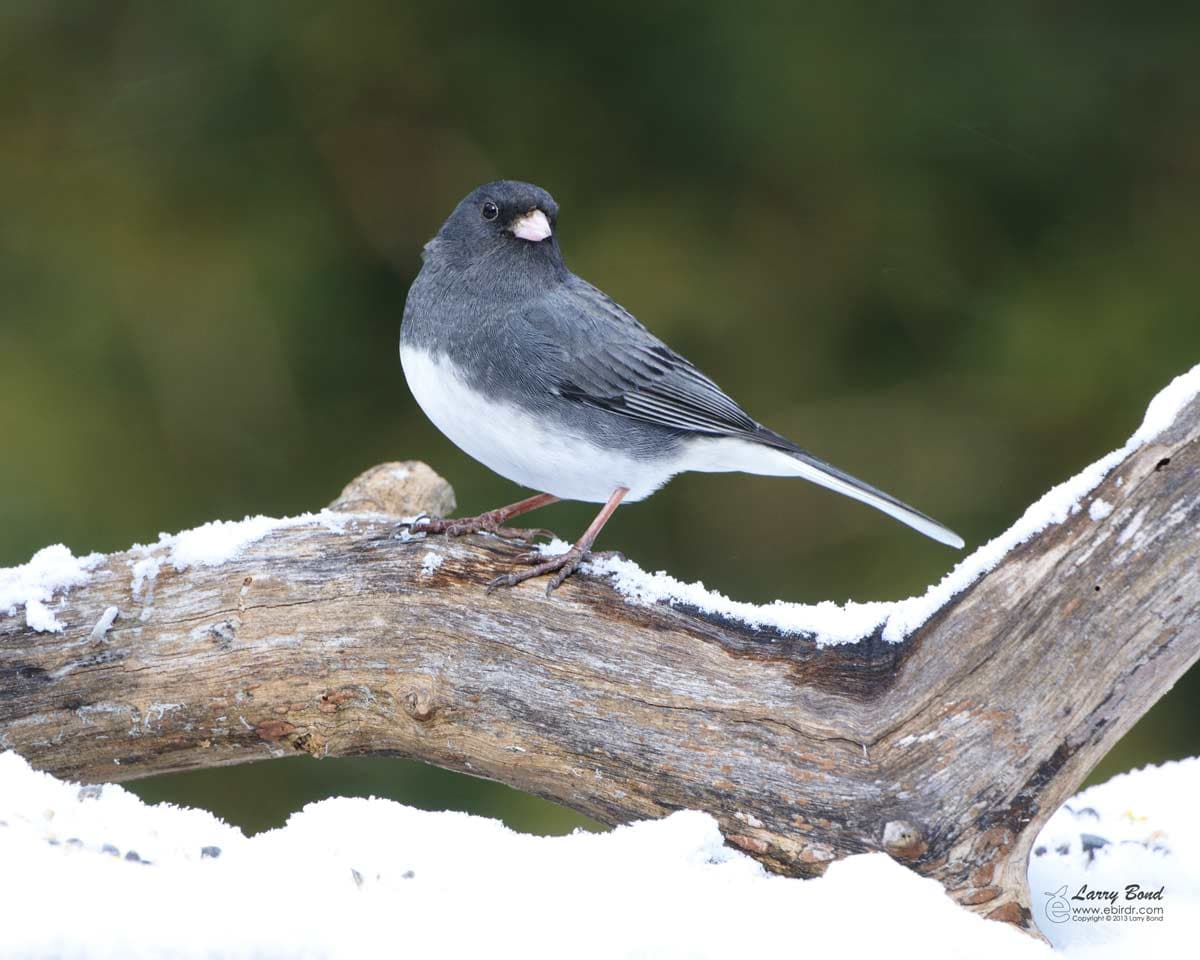 Dark Eyed Junco Ebirdr