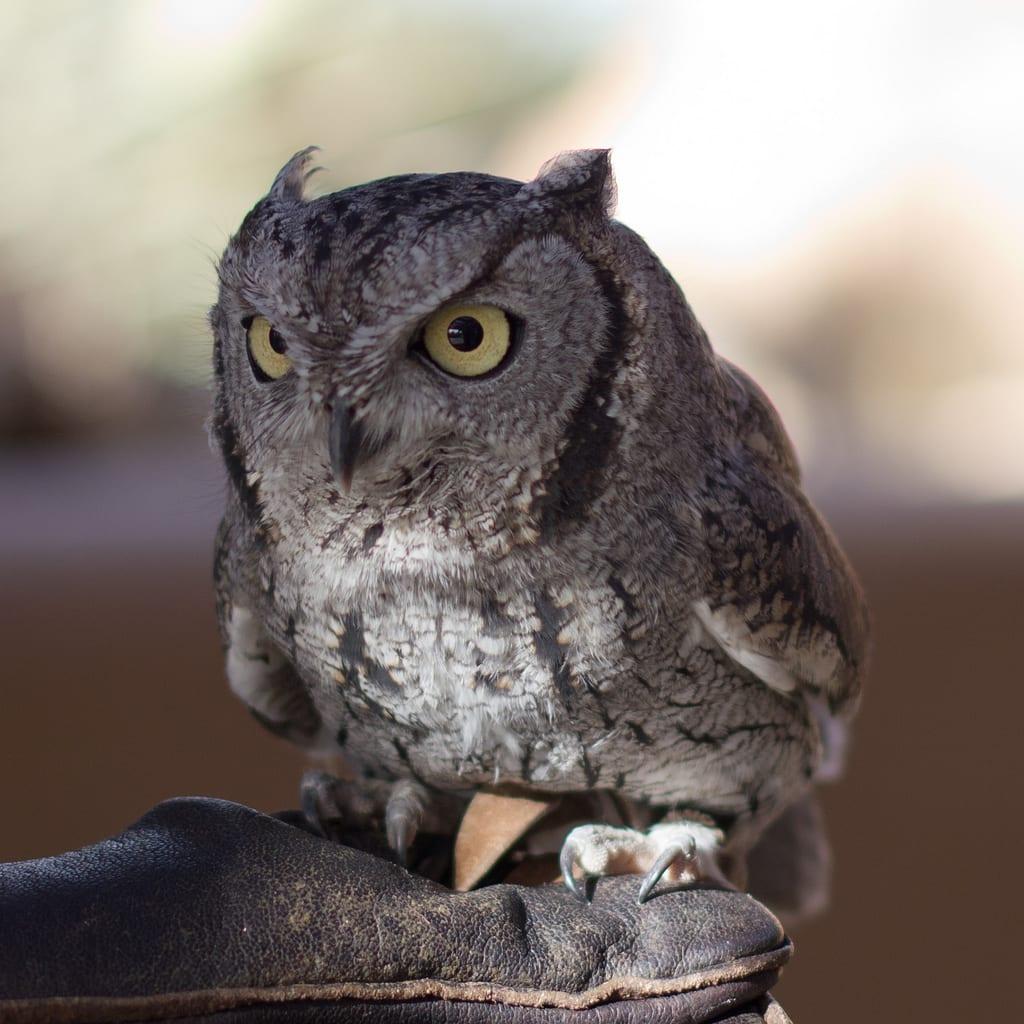 Western Screech-Owl - eBirdr