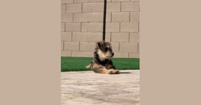 Photo of Cali, a Chihuahua, Miniature Schnauzer, Shih Tzu, and Mixed mix in Agua Prieta, Sonora, Mexico