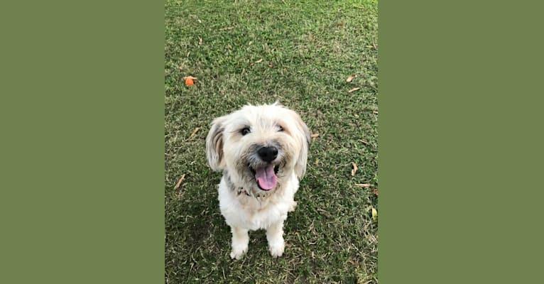 Photo of Teddi, a Golden Retriever, Shetland Sheepdog, Chow Chow, German Shepherd Dog, and Mixed mix in Lancaster, California, USA