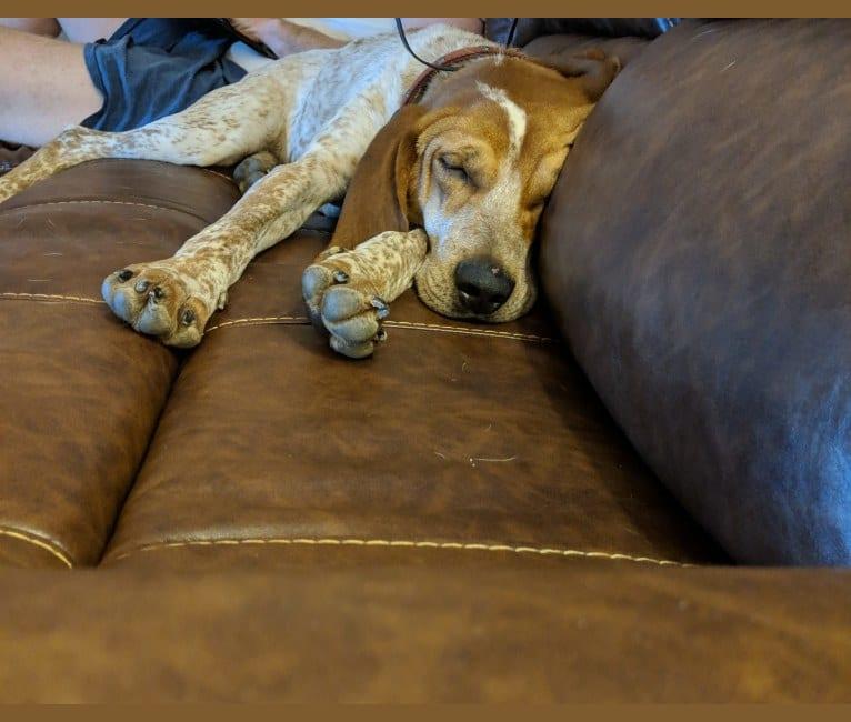 Photo of Ozloe, an American English Coonhound  in Blacksburg, Virginia, USA