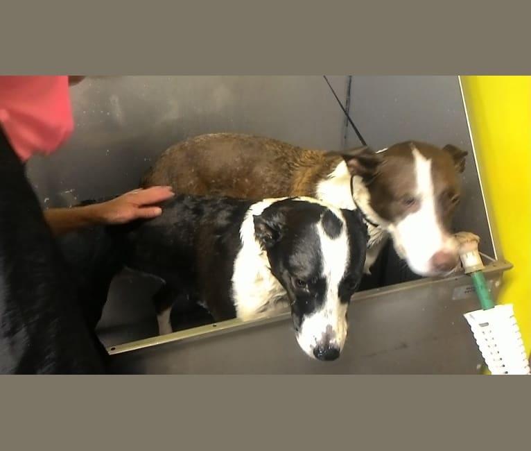 Photo of Nala Babe, an American Pit Bull Terrier, Siberian Husky, Australian Cattle Dog, American Bulldog, and Australian Shepherd mix in Evansville, IN, USA