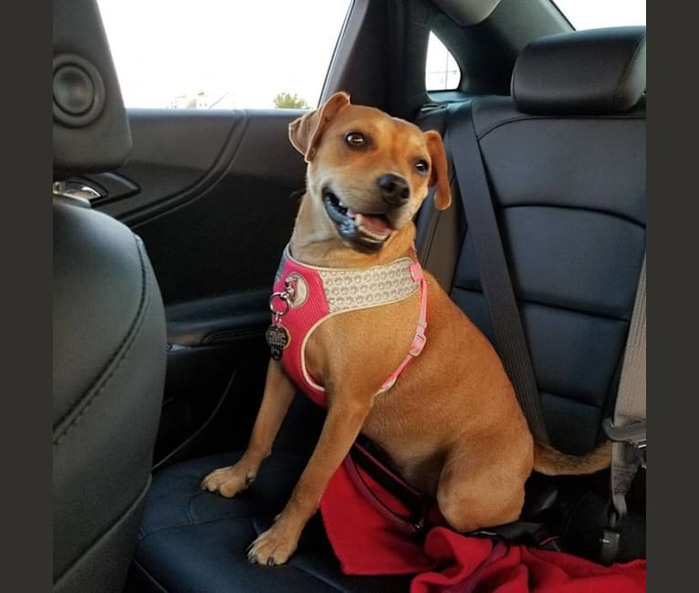 Photo of Bones, an American Pit Bull Terrier, Boston Terrier, and Cocker Spaniel mix in South Carolina, USA