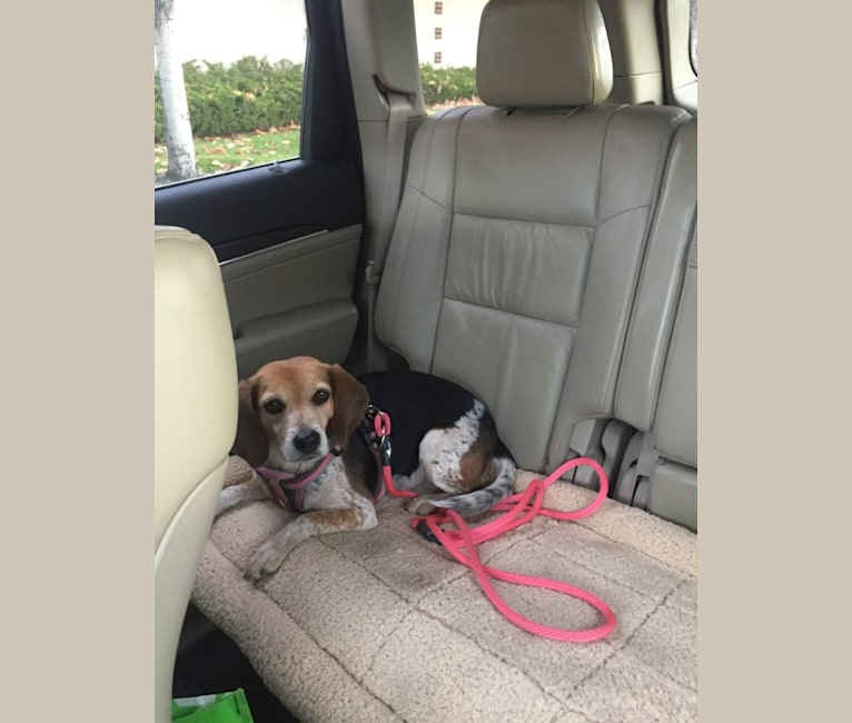 Photo of Sadie, a Beagle  in Denver, Colorado, USA