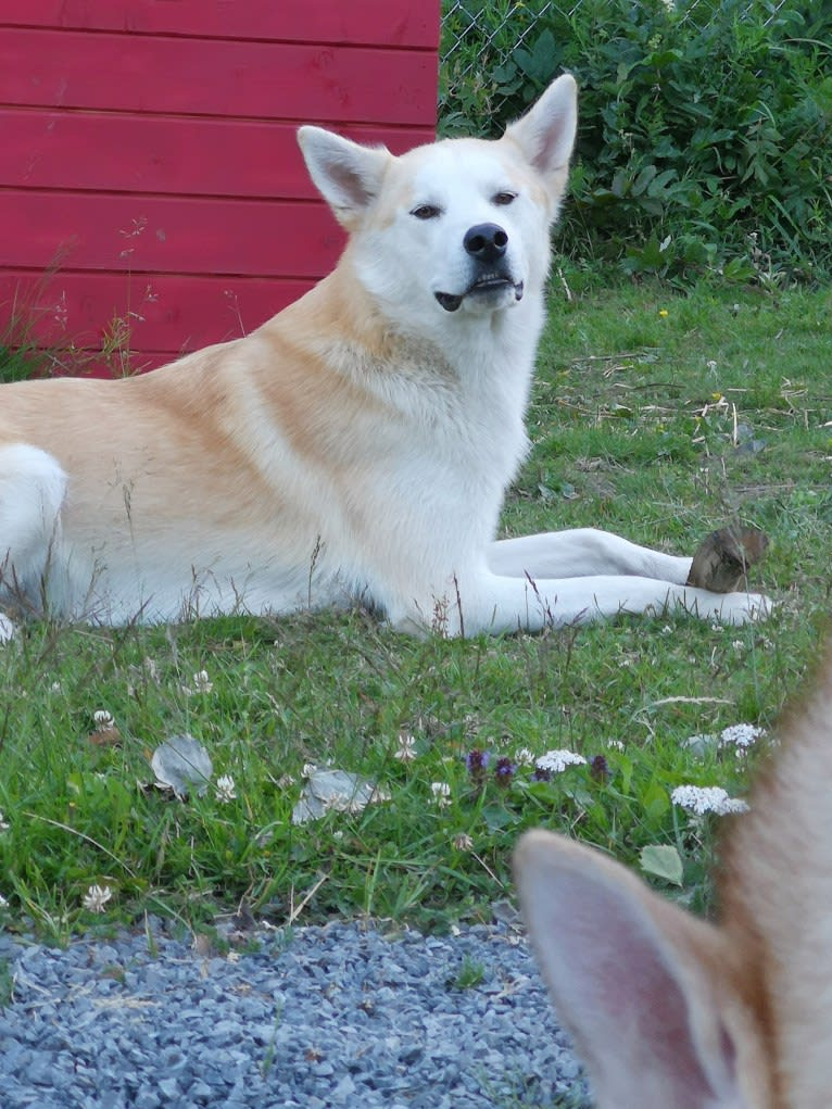 Photo of Váli, an Alaskan-type Husky