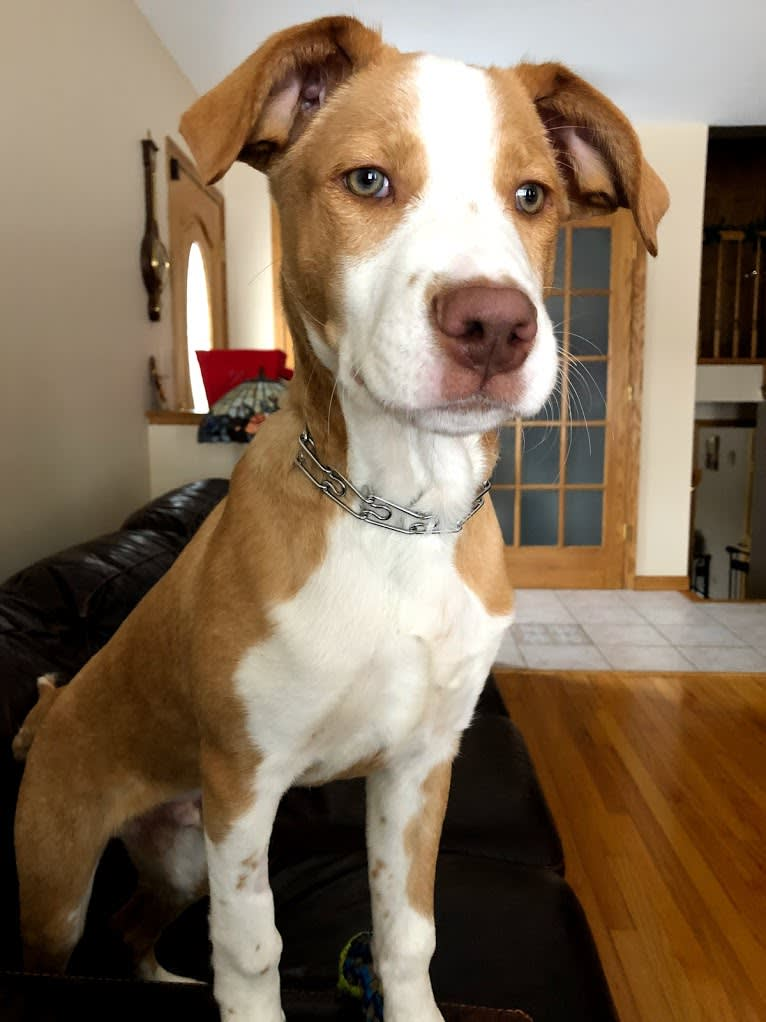 Photo of Max, a Labrador Retriever, American Pit Bull Terrier, and Siberian Husky mix in Missouri, USA