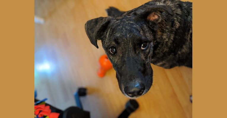 Photo of Podrick, a Mastiff, Chow Chow, Akita, German Shepherd Dog, and Mixed mix in Fresno, CA, USA