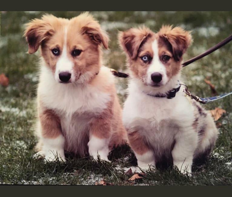 Photo of Skylar, an Australian Shepherd, Basset Hound, Staffordshire Terrier, Shetland Sheepdog, and American Eskimo Dog mix