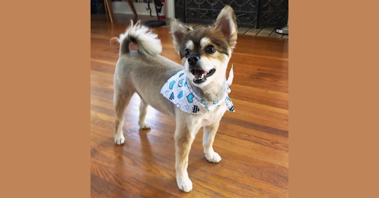 Photo of Koga, an East Asian Village Dog and Miniature Schnauzer mix
