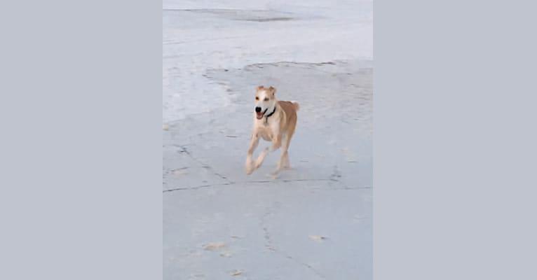 Photo of Skye, an American Foxhound, Alaskan Malamute, and Siberian Husky mix in Santa Rosa Beach, Florida, USA