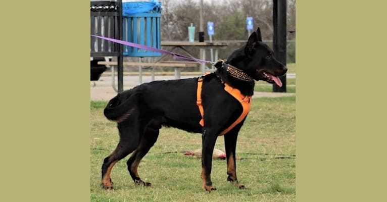 """Photo of Armored Rose Defying Gravity """"Orbit"""", a Beauceron  in Grass Valley, CA, USA"""