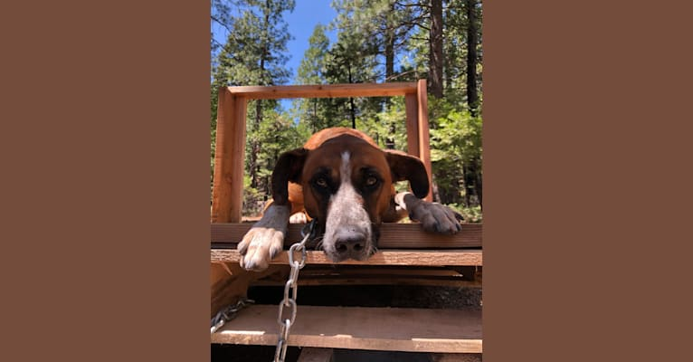 Photo of Ryker, a Border Collie, American Pit Bull Terrier, Treeing Walker Coonhound, and Mixed mix in Jupiter, California, USA