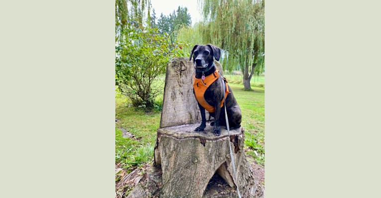 Photo of Bella, a Formosan Mountain Dog and Beagle mix in Taichung City, Taiwan