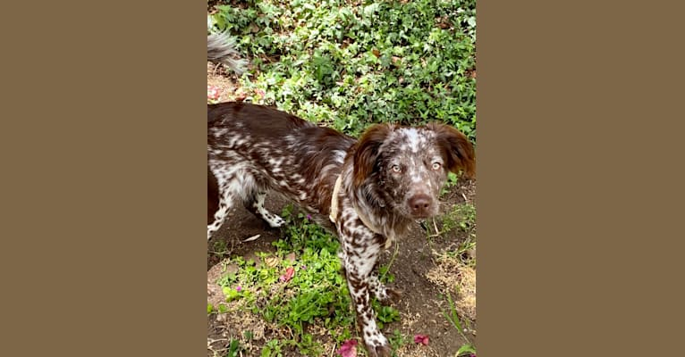 Photo of Milo, an American Pit Bull Terrier, Border Collie, Cocker Spaniel, and Australian Cattle Dog mix in California, USA