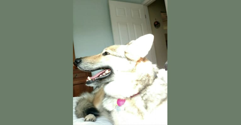 Photo of Mia, a Siberian Husky, German Shepherd Dog, and Alaskan Malamute mix