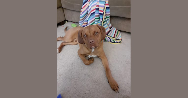 Photo of Rufus, an American Pit Bull Terrier, Boxer, and Beagle mix in Illinois, USA