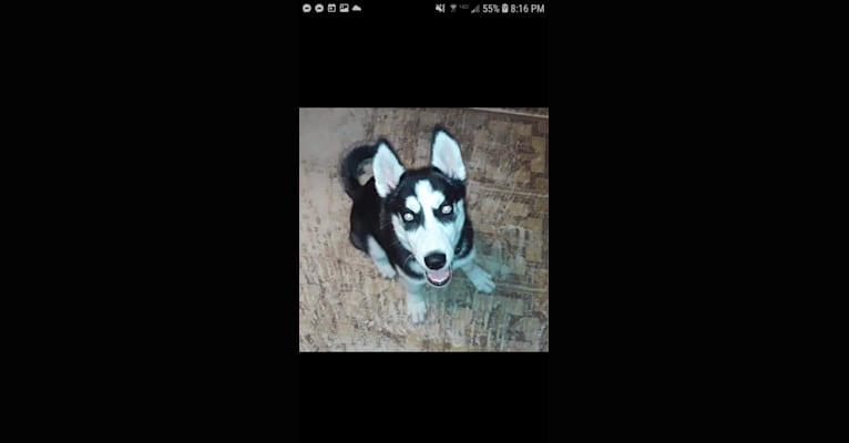 Photo of Haiku, a Siberian Husky  in Bloomfield, Iowa, USA