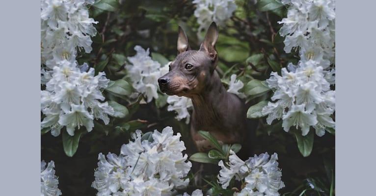 Photo of Caria, an American Hairless Terrier  in Luleå, Schweden