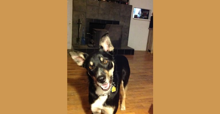 Photo of Ollie, a Border Collie  in Medford, Oregon, USA