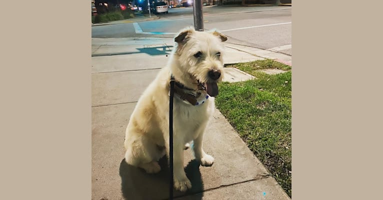 Photo of Posy, a Siberian Husky, Poodle (Small), Chow Chow, and Mixed mix in Altadena, California, USA