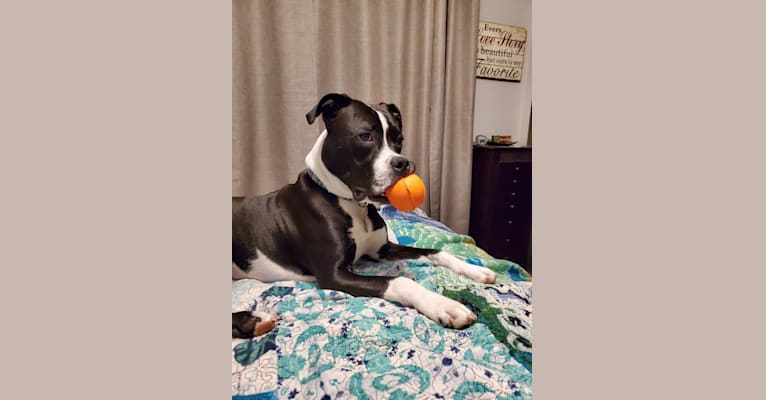 Photo of Houston, an American Pit Bull Terrier, American Bulldog, and American Staffordshire Terrier mix in Kenosha, WI, USA