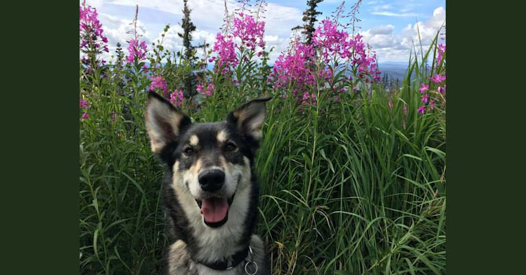 Photo of Nova, an Alaskan-type Husky  in Delta Junction, Alaska, USA