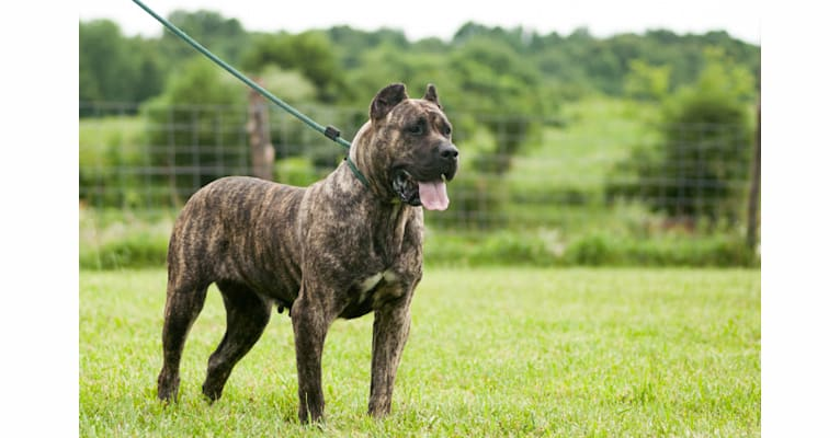 Photo of Konga, a Perro de Presa Canario  in Illinois, USA
