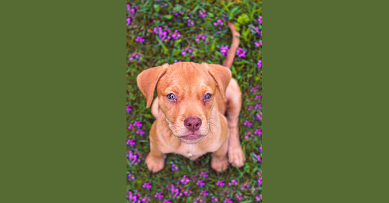 Photo of Phoebe, an American Pit Bull Terrier, Poodle (Small), Cocker Spaniel, Boxer, and Mixed mix in Georgia, USA