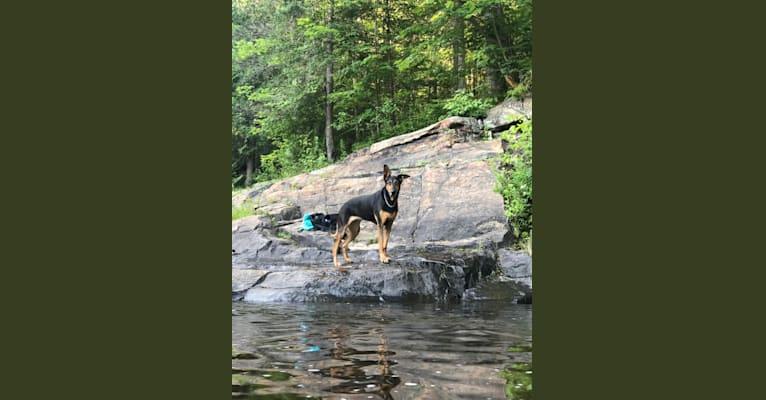 Photo of Sky, a Doberman Pinscher, German Shepherd Dog, and Rottweiler mix in Québec, Canada