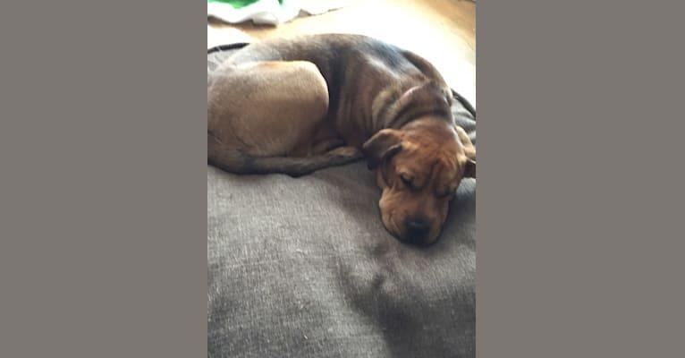 Photo of Archibald, a Labrador Retriever, Rottweiler, Boxer, Russell-type Terrier, Australian Cattle Dog, and Mixed mix in Pinehurst, Idaho, USA