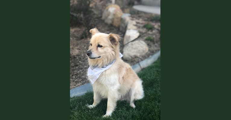 Photo of Chance, a Poodle (Small), Pomeranian, Chihuahua, American Eskimo Dog, and Mixed mix in Colorado Springs, Colorado, USA