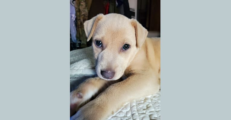 Photo of Bonnie, a Blue Lacy  in Texas, USA