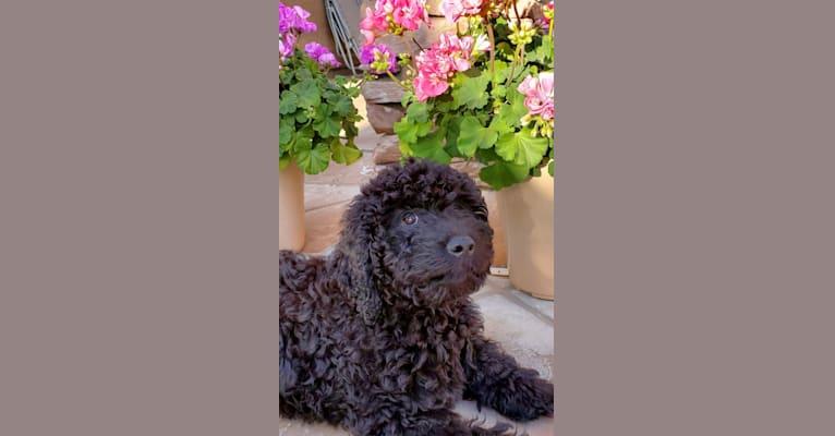 Photo of MADEE, a Barbet  in Sarasota, FL, USA