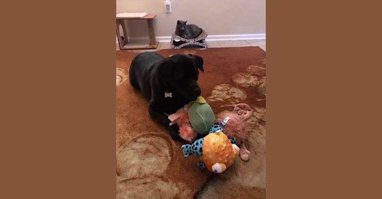 Photo of Benjen, a Bulldog, Neapolitan Mastiff, Rottweiler, and Mixed mix in Jacksonville, Florida, USA