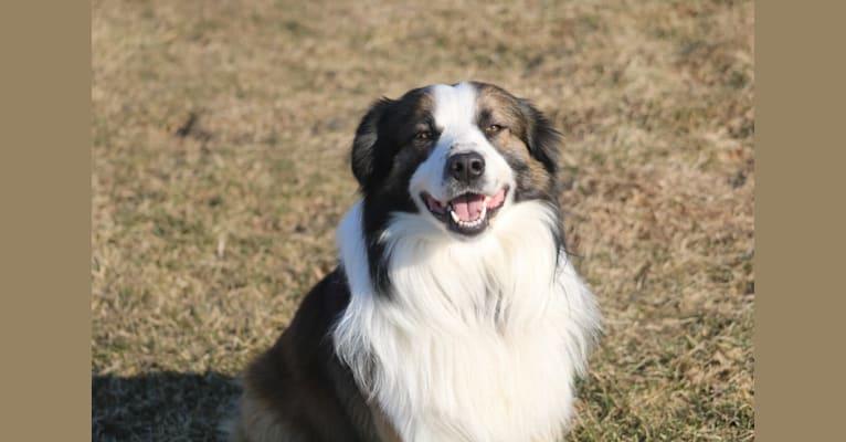 Photo of Gizmo, an English Shepherd  in Kansas, USA
