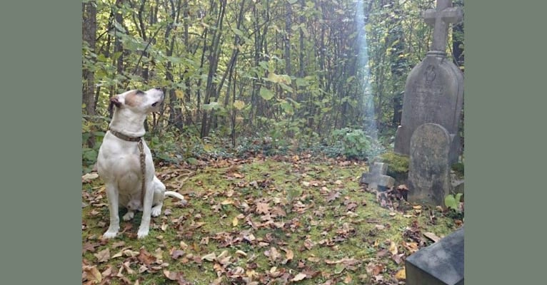 Photo of Ty, an American Pit Bull Terrier and Rottweiler mix in Rhinelander, Wisconsin, USA