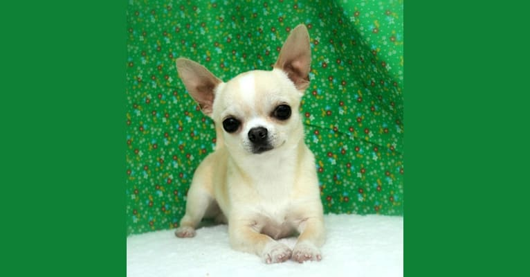 Photo of Antic, a Chihuahua